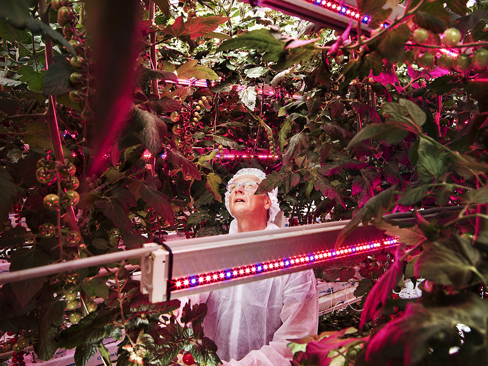 Plant scientist Henk Kalkman checks tomatoes at a facility that tests combinations of light intensity, spectrum and exposures at the Delphy Improvement Centre in Bleiswijk, the Netherlands.